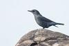 Blue-capped Rock thrush (steve happ) Tags: coorg india karnataka kodagu madikeri mandalpatti pushpagiriwildlifesanctuary