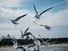 the gulls of Zinnowitz (Stephan Harmes) Tags: gull seagulls möwen usedom germany travel reise urlaub seaside sea ostsee sky blue meer building castle