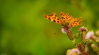 Butterfly - 3942