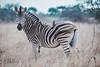 Plains zebra (Aldo van Zeeland) Tags: zuidafrika krugernationalpark plains zebra equus quagga portfolio nature