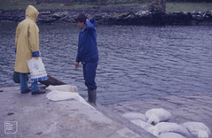 Edible periwinkles bagged. Muck (Mary Gillham Archive Project) Tags: 1987 39328 commonperiwinkle island littorinalittorea may1987 mollusca muck nm4279 people scotland unitedkingdom gb