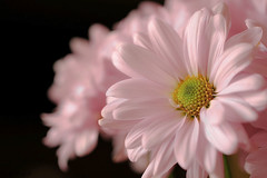 Gratitude (WinRuWorld) Tags: daisy gift flower botany bloom pink pastel macro macrophotography flowerphotography pastelpink delicate pretty bokeh dof depthoffield gratitude canon canonphotography canon60d canoneos60d canon100mmmacrolens ef100mmf28lmacroisusm nature naturephotography asteraceae plant flora garden hope elegance simplicity
