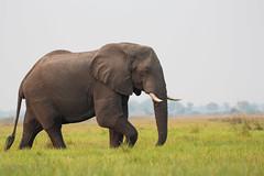 IMG_3465 (jfirmenich) Tags: duba elephant