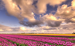 The beauty of Holland. (Alex-de-Haas) Tags: oogvoornoordholland 1635mm d750 dutch europe hdr holland nederland nederlands nikkor nikon noordholland thenetherlands clouds landscape landschap lucht nature natuur skies sky tulip tulipfields tulipa tulips tulp tulpen tulpenvelden wolken
