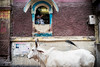 Backlash (superUbO) Tags: india backlash jodhpur sacred beef ox instant blow street hand tail city blue culture religion