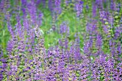 DIstesa di lavanda (viola.v94) Tags: flowers blossom nature colorful violet lavanda autumn october countryside panasonic passion earth world