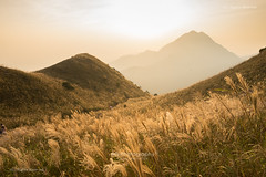 大東. 秋芒 (bgfotologue) Tags: 秋 日落 hk 芒草 miscanthus lantaupeak outdoor 戶外 伯公坳 離島 landscape 港 攝影 lantau 大嶼山 hiking countrypark bgphoto 風景 field grass autumn mountain travel holiday weekend image 500px tourist 二東山 lantauislandnorth 大東山 lantaunorthcountrypark 2017 tumblr 季節 bellphoto gold 香港 peak taitungshan photography hongkong sunsetpeak 晚霞 東涌 photo 大楝山 island