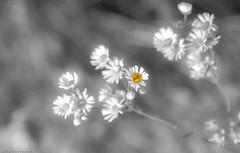 Here comes the sun (++sepp++) Tags: bayern deutschland lechfeld länder blumen flowers colorkey nahaufnahme nature natur closeup wildblume wildflower bavaria germany