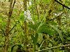 Odontoglossum sp. (Eerika Schulz) Tags: odontoglossum mindo ecuador