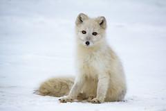 Just Plain Cute (Dan King Alaskan Photography) Tags: arcticfox fox vulpeslagopus deadhorse alaska canon50d sigma150600mm wildanimal