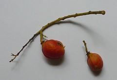 synima.cordierorum.fruits (dave.kimble) Tags: synima synimacordierorum sapindaceae arfp qrfp tropicalarf lowlandarf uplandarf understoreyarfp arffs orangearffs redarffs