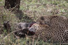 20170916 - Tanzania (863 von 1444).jpg (Jan Balgemann) Tags: big five bigfive tanzania afrika animals serengeti wildlife