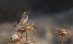 Cantando (Aristides Díaz) Tags: saxícolarubícula pájaro avesilvestre campiña avecantando bird tarabillaeuropea sigmaaf400f56apotelemacro