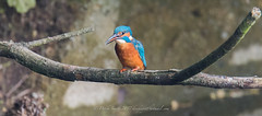 King of the fishers (Delboy Studios) Tags: kingfisher ryemeads rspb