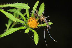 Elephant Mosquito - Toxorhynchites rutilis, Mason Neck, Virginia (judygva) Tags:
