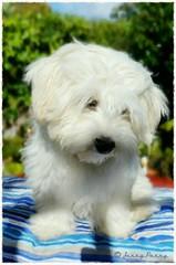 Alfie feeling sad because summer's over ❤ #alfiethezuchon #puppy #dog #zuchon #cute #beautiful #jennyparry (jennyparry737) Tags: zuchon beautiful jennyparry puppy alfiethezuchon cute dog