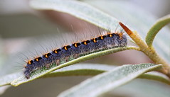 """Lasiocampa quercus""- hageheld (bugman11) Tags: lasiocampaquercus bug bugs insect insects fauna caterpillar caterpillars canon 100mm28lmacro nature hageheld bloemendaal leaf leaves thenetherlands macro nederland bokeh animal animals thegalaxy platinumheartaward infinitexposure"