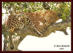 LEOPARD (Panthera pardus) ...MASAI MARA.....SEPT 2017 (M Z Malik) Tags: nikon d800e 400mmf28gedvr kenya africa safari wildlife masaimara keekoroklodge exoticafricanwildlife exoticafricancats flickrbigcats leopard ngc npc