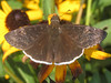 Funereal duskywing (Erynnis funeralis) (tigerbeatlefreak) Tags: funereal duskywing erynnis funeralis insect butterfly skipper lepidoptera hesperiidae stillwater oklahoma