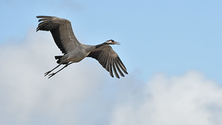 Kranich, der Vogel des Glücks