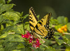 Eastern Tiger Swallowtail Butterfly, female (Papilio Glaucus) (Tony Smith Photo's) Tags: berries blackyellow bug butterfly caterpillar chrysalis easterntigerswallowtailbutterfly flower flutter fluttering flying insect nectar papilioglaucus plant wings yellow leaf leaves macro wing female
