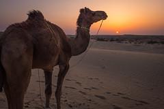 Rajasthan - Jaisalmer - Desert Safari with Camels-64