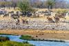 A group of female greater kudu coming to drink, Rietfontein Waterhole, Etosha National Park, Namibia (Ulrich Münstermann) Tags: africa afrika burchellszebra etoshanationalpark ferien greaterkudu landschaft metazoa namibia oshikotoregion plainszebra reise rietfonteinwaterhole technology tiere tragelaphusstrepsiceros wasser animal animalia animalsanimalia chordata chordates commonzebra dieren equusburchellii equusquagga equusquaggaburchellii female game gamedrive holiday landscape landschap mammalia mammalsmammalia quagga reizen safari travel vakantie water waterhole wildlife zebra