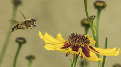 The long jump HFDF (stevenbailey7) Tags: hoverfly eristalis insect nature flower yellow syrphid diptera hovering flying
