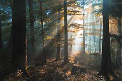 Autumnal forest (Rita Eberle-Wessner) Tags: wald forest wood autumn fall herbst baum bäume trees nebel fog licht light sonnenstrahlen sunbeams sunrays tyndalleffect tyndalleffekt laub leaves laubwald odenwald