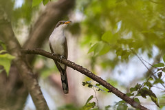 Yellow-billed Cuckoo (PeterBrannon) Tags: bird coccyzusamericanus florida migration nature wildlife yellowbilledcuckoo alone breather solitude spring springmigration