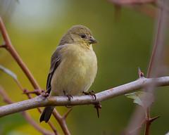 Goldfinch (Brian Rockwell) Tags: americangoldfinch goldfinch tualatin river national wildlife refuge sherwood oregon usa