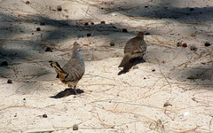 he found her (kexi) Tags: mauritius ilemaurice birds two 2 pair couple nature zebrapigeons beach africa sand samsung wb690 september 2016 happyend instantfave