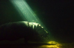 Hippopotamus Under Water (mmorriso2002) Tags: adventureaquarium camden newjersey mammal hippopotamus marinelife flickrsbest
