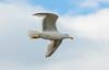 Herring gull / Silfurmáfur (Larus argentatus) (thorrisig) Tags: 03062017 dýr fuglar glaucousgull hvítmávur larushyperboreus máfur mávur fugláflugi hvítmáfur mávar iceland ísland island icelandicbirds íslenskirfuglar thorrisig thorfinnursigurgeirsson þorrisig thorri thorfinnur þorfinnur þorri þorfinnursigurgeirsson dorres sigurgeirsson sigurgeirssonþorfinnur birds bird animals flyingbird seagulls gulls