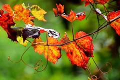 Tiny treasures in flora  -  SoS (ruthehrhardt) Tags: smileonsaturday nature leaves nikond5300 colors autumn tinytreasuresinflora