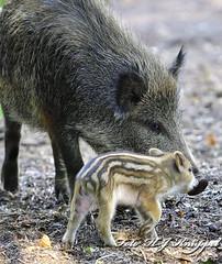 Wildschwein  - wild boar (hansjrgenknppel) Tags: wild boar wildschwein natur wildtier säugetier germany deutschland natupark reken nikon d 500 nikkor 200500mm hansjürgen knüppel