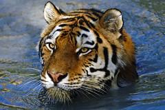 Sibirischer Tiger (Michael Döring) Tags: gelsenkirchen bismarck zoomerlebniswelt zoo goldeneroktober armurtiger sibirischertiger afs200500mm56e d7200 michaeladöring inexplore