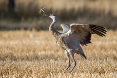 Stick Tossing Happy (Robin-Wilson) Tags: crane sandhill migrating colorado autumn happy stick tossing montevista wildliferefuge wild light early