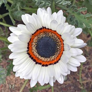 White Cape Daisy