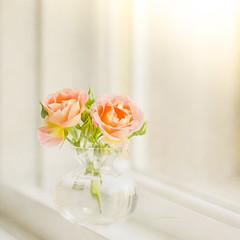 A new day... (jm atkinson) Tags: roses d600 window bokeh light 105mm joanmatkinson flypapertexture