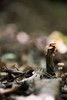 Mini Mashroom (aidin36) Tags: mushroom forest jungle mini minimal bokeh dof small nature leaves wood قارچ جنگل بوکه مینیمال کوچک برگ چوب brown قهوهای depthoffield blur