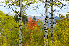 Red Tree Between Aspens (aaronrhawkins) Tags: fall red tree aspen leaves utah sundance mountain resort season white leaf trunk bark colors change yellow autumn bright scenery aaronhawkins