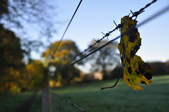 Autumn fence capture (katy1279) Tags: hff happyfencefriday autumn leaf leaves autumncolours wirefence barbedwire