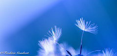 AlOnE (frederic.gombert) Tags: sun flower dandelion color colors blue white evening flora autumn spring summer light macro sunlight