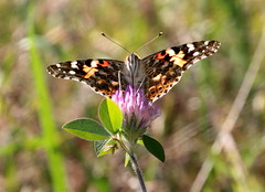 Painted Lady Butterfly and Clover (vischerferry) Tags: bokeh paintedlady vanessacardui clover lepidoptera explored