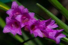 Orchid (betadecay2000) Tags: orchid orchids blüte orchidee orchideen rosa pink lila klein plant flowers blüten fleur flower small tropisch botanisch