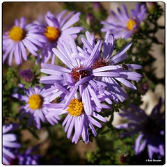 Purple Fall Asters (PEN-F_Fan) Tags: olympusem10ii northamerica olympusmzuiko30mmf35macro on1photoraw omd ladybirdjohnsonwildflowercenter insect mft mirrorless microfourthirds symphyotrichumoblongifolium sunflowerfamily texas unitedstatesofamerica type plant photoborder purple raw purplefallaster flowers beta austin camera dxophotolab closeup flower bright coth coth5