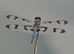 a late September Banded pennant (Vicki's Nature) Tags: bandedpennant male dragonfly black blue spots wings harmony georgia vickisnature canon s5 8854