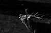 B & W Stag (mikedenton19) Tags: red deer cervus elaphus mammal studley royal rutting season fountainsabbey fountains abbey nationaltrust national trust park yorkshire wildlife antler stag male uk british cervuselaphus rut blackandwhite bw white black