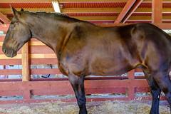 DSCF9498.jpg (RHMImages) Tags: drafthorseclassic horseshow show x100f animals horses nevadacounty fuji fujifilm fairgrounds grassvalley